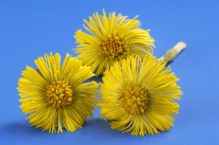 homoeopathic: Coltsfoot flowers LANG_EVOIMAGES