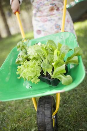 ni�o empujando: Ni�o empujando carretilla que contiene plantas de lechuga y albahaca LANG_EVOIMAGES