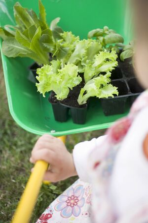 somebody: Child pushing wheelbarrow containing lettuce & basil plants LANG_EVOIMAGES