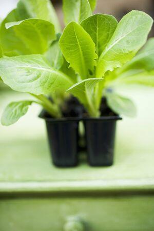 modules: Lettuce plants in plastic modules LANG_EVOIMAGES