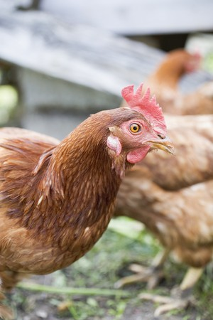 farmyards: Live hens in the open air