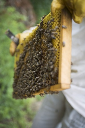 somebody: Beekeeper holding honeycomb covered with bees LANG_EVOIMAGES