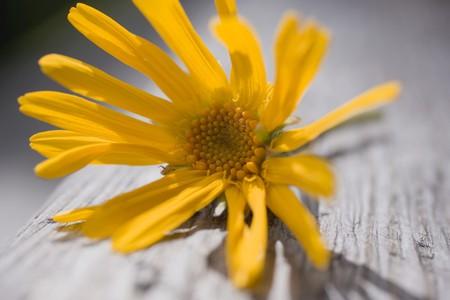 Arnica: Arnica flower (close-up)