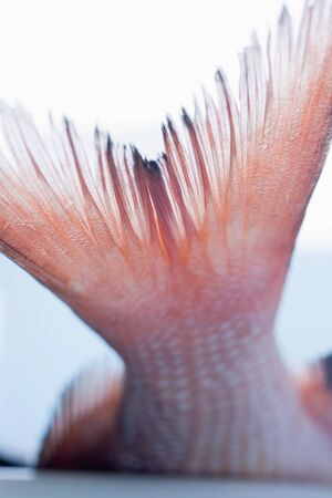 aaa: Tail of red snapper LANG_EVOIMAGES