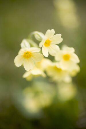 primulas: Yellow primulas