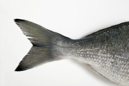 gilthead bream: Gilthead bream (tail)
