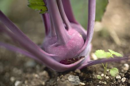 rabi: Purple kohlrabi growing in soil