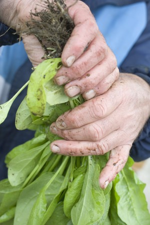 dirty hands: Dirty hands holding fresh spinach plants