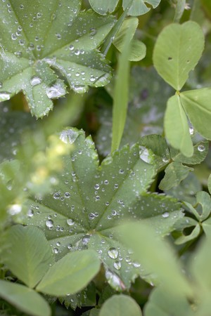 alchemilla mollis: Ladys mantle leaves with drops of water in vegetable bed