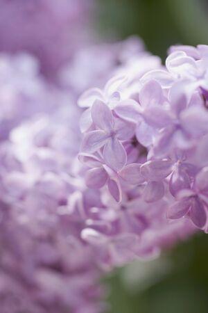 lavender flowers: Lavender flowers (close-up) LANG_EVOIMAGES