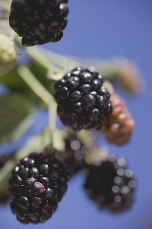 brambleberries: Blackberries on stalk