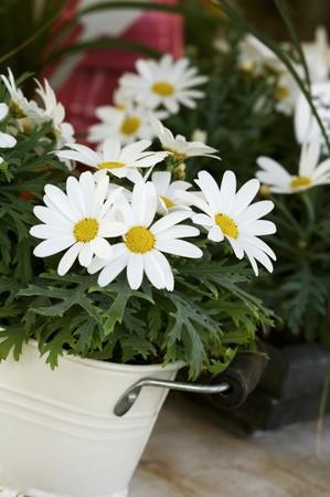 marguerites: Marguerites in white bucket