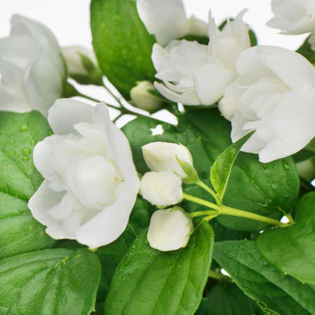 philadelphus: Mock orange (Philadelphus) LANG_EVOIMAGES