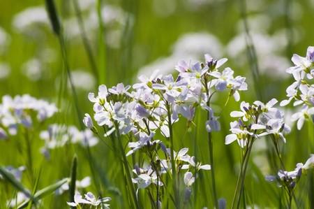 smock: Flowering ladys smock