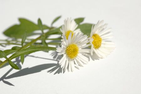 german chamomile: Three chamomile flowers