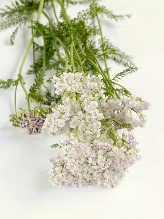 yarrow: Fresh yarrow with flowers LANG_EVOIMAGES