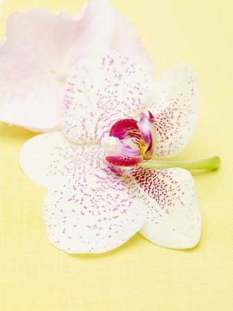 orchid flower: Orchid flower LANG_EVOIMAGES