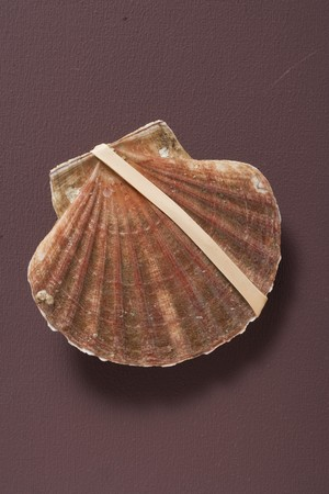 elastic band: Fresh scallop with elastic band LANG_EVOIMAGES