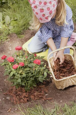 bark mulch: Little girl spreading bark mulch around rose bush