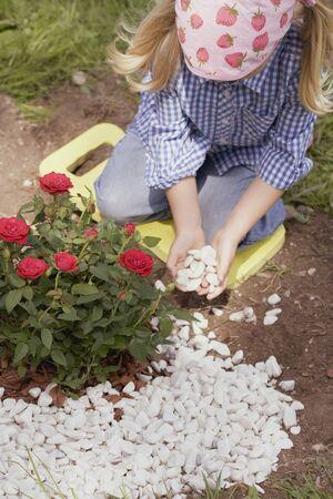 rose bush: Little girl putting pebbles around rose bush
