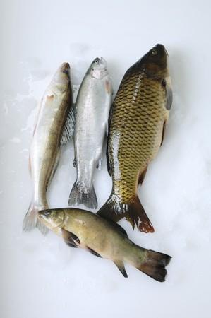 zander: Freshwater fish: zander, trout, carp, charr