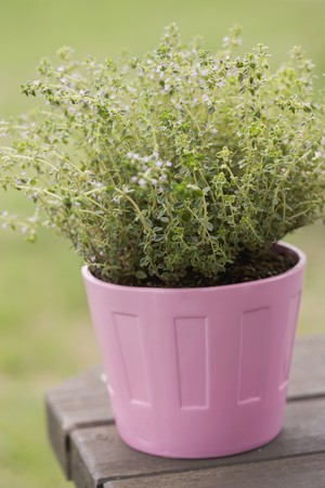 flowerpot: Fresh thyme in a flowerpot