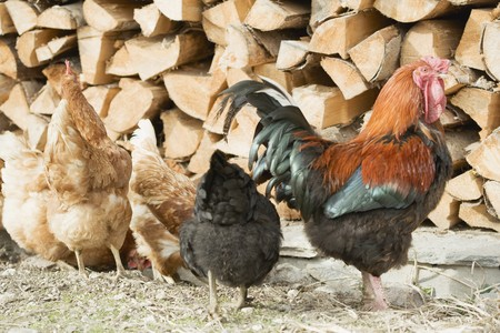 farmyards: Hens in front of a woodpile
