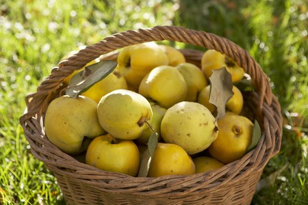 quinces: Fresh quinces in a basket on grass