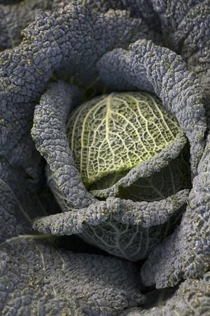 savoy cabbage: Savoy cabbage from above