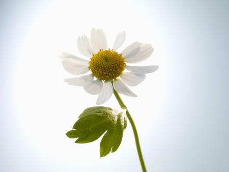 matricaria recutita: Un fiore di camomilla