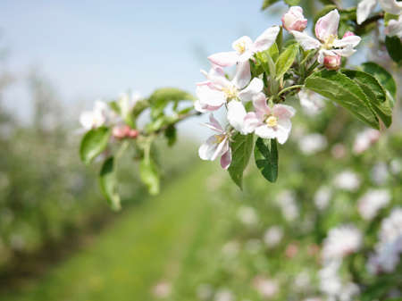 apple orchard: Apple orchard with flowering apple trees