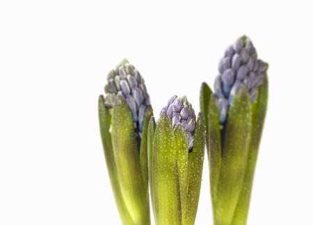hyacinths: Three hyacinths LANG_EVOIMAGES
