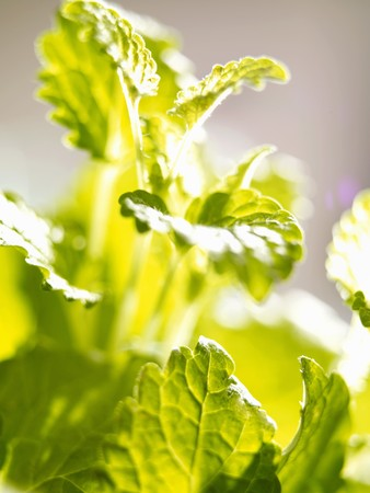 lemon balm: Lemon balm (close-up)