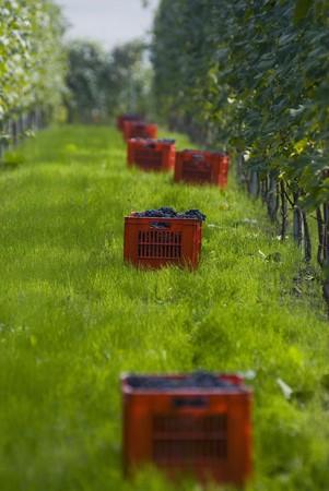 nebbiolo: Picked Nebbiolo grapes, Piedmont, Italy