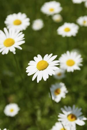 marguerites: Marguerites in grass