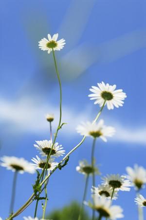 marguerites: Marguerites against blue sky