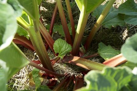 rheum: Rhubarb in the field