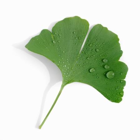 ginkgo leaf: A ginkgo leaf with drops of water