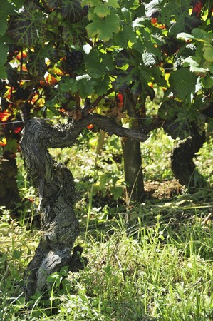 pinot noir: A vine of pinot noir grapes LANG_EVOIMAGES