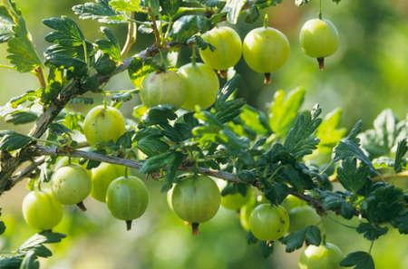 gooseberry bush: Gooseberries on the bush