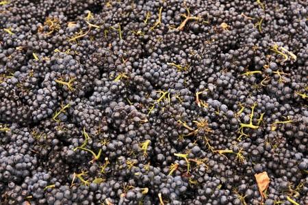 pinot noir: Pinot Noir grapes after picking