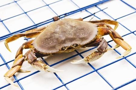 marine crustaceans: Dungeness crab