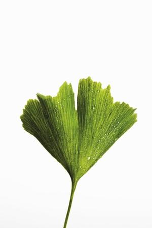 ginkgo leaf: Ginkgo leaf with drops of water LANG_EVOIMAGES