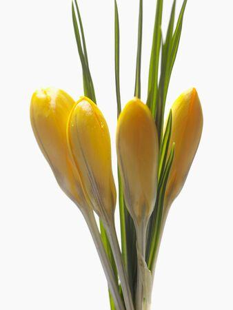crocuses: Yellow crocuses LANG_EVOIMAGES