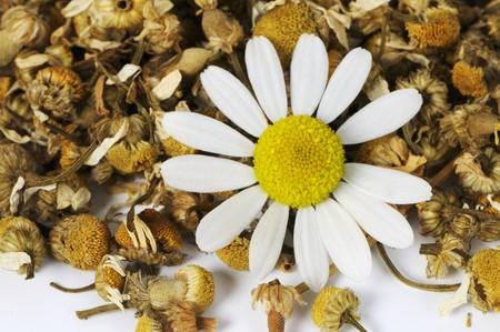 german chamomile: Camomile (Matricaria chamomilla)