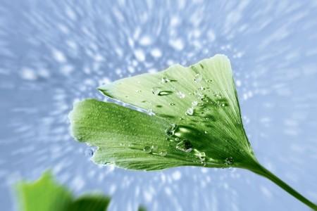 dewdrops: Ginkgo leaf with dewdrops