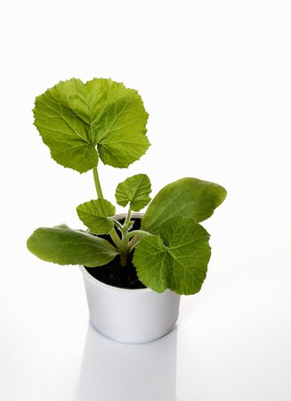 cocozelle: A courgette plant growing in cultivation pot LANG_EVOIMAGES