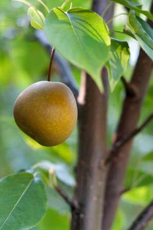 asian pear: Asian Pear Tree in a Maine Garden