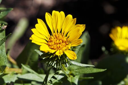 homoeopathic: Curly-top gumweed