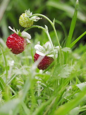 wildberry: Wild strawberries LANG_EVOIMAGES